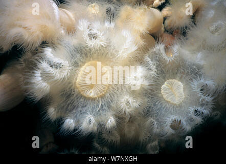 Close-up of White-Plumed Anemones (Metridium farcimen). Queen Charlotte Strait, British Columbia, Canada, North Pacific Ocean - Stock Photo