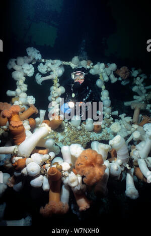 Diver exploring Bridge on Saskatchewan shipwreck, an artificial reef covered with Giant Plumose Anemone (Metridium farcimen), Vancouver Island, British Columbia, Canada, Pacific Ocean Model released. - Stock Photo
