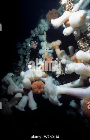 Diver exploring Bridge on Saskatchewan shipwreck, an artificial reef covered with Giant Plumose Anemone (Metridium farcimen), Vancouver Island, British Columbia, Canada, Pacific Ocean Model released. - Stock Photo
