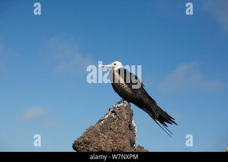 Young Great Frigatebird (Fregata minor) perched on rock. Genovesa, Galapagos Islands. - Stock Photo