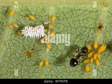 Ant (Crematogaster) attending Oleander / Milkweed aphids (Aphis nerii) beneath a Milkweed (Asclepias lanceolata) leaf, with Dusky ladybird (Scymnini) larvae feeding on them, Philadelphia, USA, July. - Stock Photo