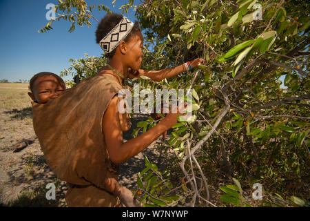A Zu/'hoasi Bushman woman carrying an infant on her back picks berries from a bush on the open plains of the Kalahari, Botswana. April 2012. - Stock Photo