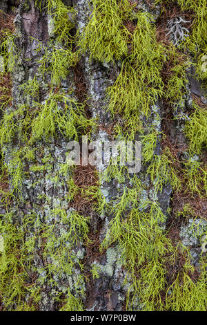 Old man's beard Lichen (Usnea sp) growing on tree trunk in coniferous woodland in Aosta Valley, Monte Rosa Massif, Pennine Alps, Italy. July. - Stock Photo