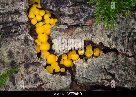Lemon Disco / Yellow fairy cups fungus (Bisporella citrina) on rotting deciduous wood, Peak District National Park, Derbyshire, UK. October. - Stock Photo