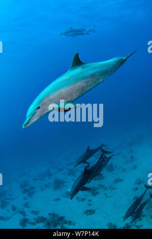 Pod of Bottlenose dolphins (Tursiops truncatus),  Abu Nuhas, Strait Of Gubal, Egypt, Red Sea. - Stock Photo