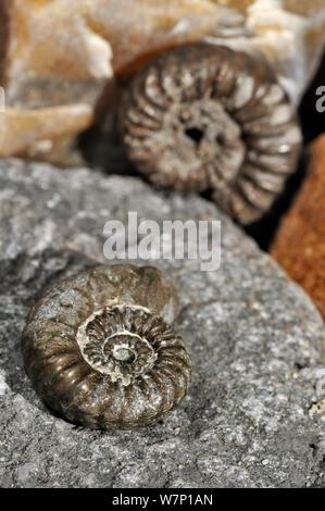 Ammonite fossils (Promicroceras planicosta) on shingle beach near Lyme Regis along the Jurassic Coast, Dorset, southern England, UK November 2012 Stock Photo