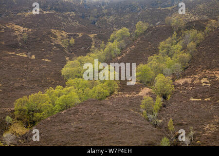 Silver birch trees (Betula pendula) growing in ravine (clough) on upland moorland, Wester Ross, Scotland, May - Stock Photo