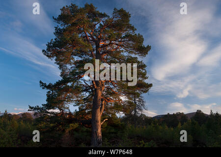 Scots pine tree / Caledonian pine tree (Pinus sylvestris) in the Rothiemurchus forest, Cairngorms National Park, Scotland, UK March 2012 - Stock Photo