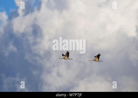 Common Crane (Grus grus) pair flying infront of clouds, Mecklenburg-Vorpommern, Germany. October - Stock Photo