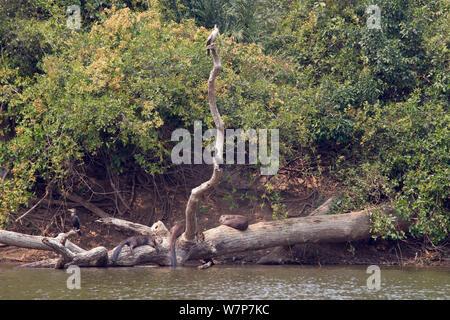 Giant otter (Pteronura brasiliensis) family resting and sleeping on a fallen tree at the edge of an oxbow lake, Rio Negro, Pantanal, Brazil - Stock Photo