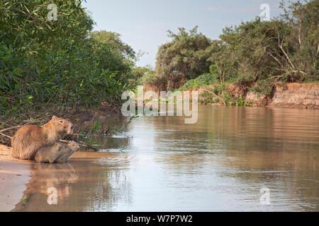Capybara (Hydrochoerus hydrochaeris) family sitting at the edge of a river, Pantanal, Brazil. - Stock Photo