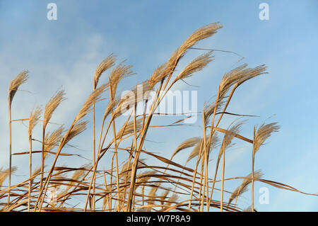Elephant grass (Miscanthus giganteus) flowerheads, grown as an energy crop for use in biomass boilers, Willtshire, UK, December. - Stock Photo