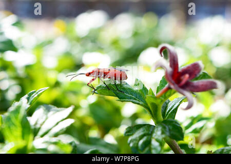 Red cotton stainer ( Dysdercus cingulatus ) in a garden with red flower on a green blur background - Stock Photo