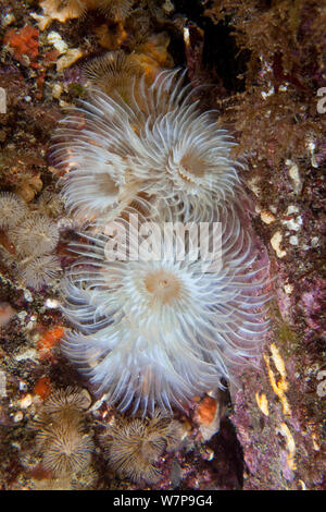Spiral Fan Worm (Bispira volutacornis). Maseline Harbour, Sark, British Channel Islands, July. - Stock Photo