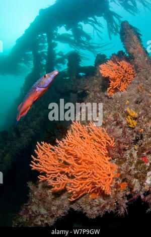 Ship wreck with male Cuckoo Wrasse (Labrus mixtus) and Pink Sea Fan / Warty Coral (Eunicella verrucosa) Wreck Forth, Herm, British Channel Islands, July. - Stock Photo