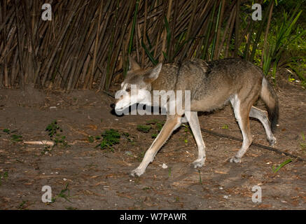 Red Wolf (Canis lupus rufus) walking profile, captive - Stock Photo