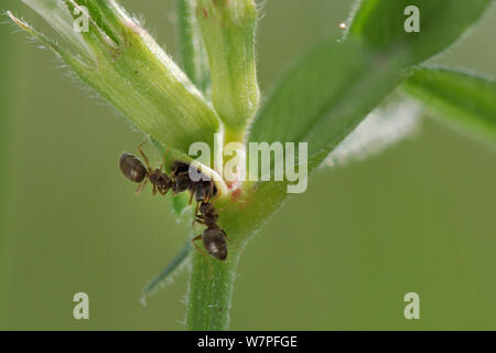 Two Garden black garden ants (Lasius niger) feeding from extrafloral nectaries on stem of Common vetch (Vicia sativa), chalk grassland meadow, Wiltshire, UK, May. - Stock Photo