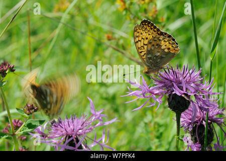 Dark green fritillary butterfly (Argynnis aglaja) feeding on Greater knapweed flower (Centaurea scabiosa) as another takes off in the background, chalk grassland meadow, Wiltshire, UK, July - Stock Photo