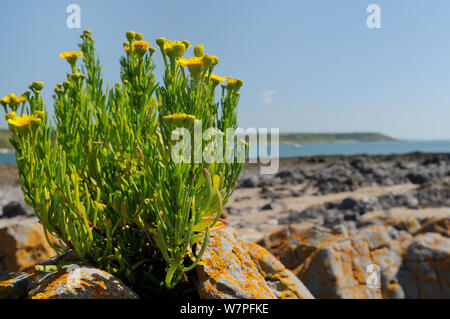 Golden samphire (Inula crithmoides) clump flowering on limestone rock outcrop just above the high tide line, Port Eynon, Gower Peninsula, Wales, UK, July. - Stock Photo