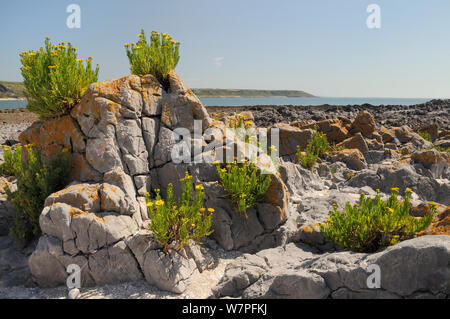 Golden samphire (Inula crithmoides) flowering on limestone rock outcrop just above the high tide line, Port Eynon, Gower Peninsula, Wales, UK, July. - Stock Photo