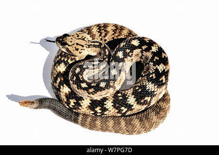 Black-tailed Rattlesnake (Crotalus molossus) captive from USA and Mexico - Stock Photo