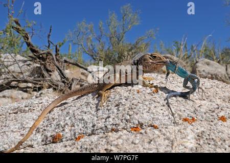 Sonoran collared Lizard (Crotaphytus nebrius) eating a Ornate tree Lizard (Urosaurus ornatus) Organ Pipe Cactus National Monument, Arizona, USA, April. Controlled conditions - Stock Photo