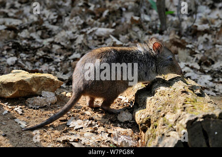 Long-nosed Potoroo (Potorous tridactyla) captive, East Australia, February - Stock Photo