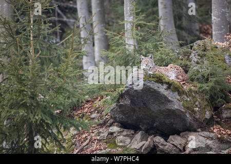 Eurasian Lynx (Lynx lynx) adult resting on large boulder close to old Common beech (Fagus sylvatica) trees, captive in enclosure of the Bavarian Forest National Park, Germany, February - Stock Photo