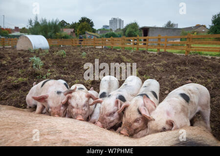 Gloucestershire Old Spot piglets (Sus scrofa domestica) suckling from sow. Stonebridge City Farm in central Nottingham, UK, October. - Stock Photo