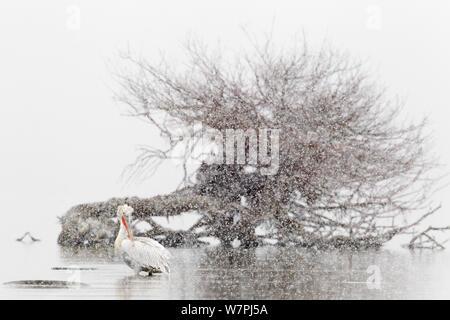 Dalmatian Pelican (Pelecanus crispus) preening during snowfall. Lake Kerkini, Greece February 2012. - Stock Photo