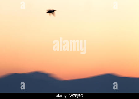 Dalmatian Pelican (Pelecanus crispus) flying over the distant mountains at sunrise. Lake Kerkini, Greece, March 2012. - Stock Photo