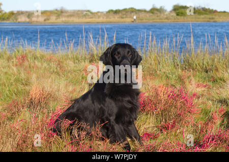 Flat-Coated Retriever in glasswort and salt grass in salt marsh; Waterford, Connecticut, USA. (Non-ex) - Stock Photo