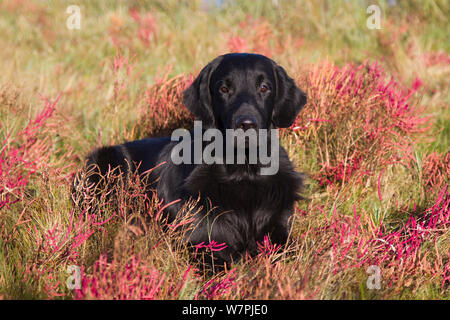 Flat-Coated Retriever in glasswort and salt grass in salt marsh, Waterford, Connecticut, USA. (Non-ex) - Stock Photo