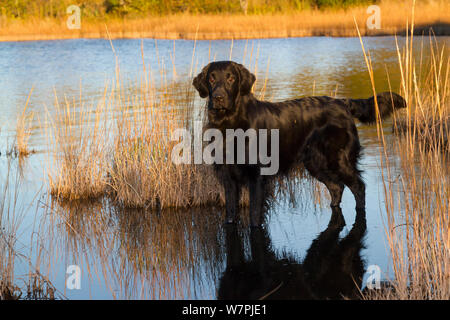 Flat-Coated Retriever in salt grass in salt marsh; Waterford, Connecticut, USA. (Non-ex) - Stock Photo