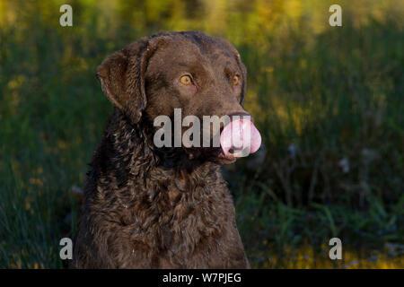 Chesapeake Bay Retriever with wet fur, licking nose, Harrisville, Rhode Island, USA - Stock Photo