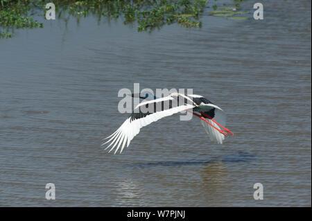 Black Necked Stork (Ephippiorhynchus asiaticus) in flight over water, Kakadu National Park, Northern Territory, Australia, July - Stock Photo