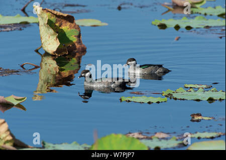 Green Pygmy Goose (Nettapus pulchellus) pair in swimming between lily pads, Kakadu National Park, Northern Territory, Australia, July - Stock Photo