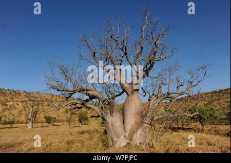 Gourd / Boab Tree (Adansonia gregorii) endemic to Australia in the Kimberly Region, Western Australia and East into the Northern Territory - Stock Photo