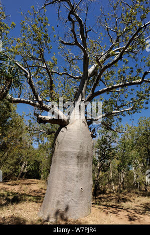 Gourd / Boab Tree (Adansonia gregorii) endemic to the Kimberly Region in Western Australia and East into the Northen Territory, Australia - Stock Photo