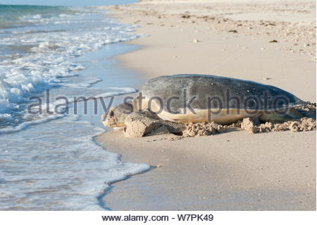 Australian flatback sea turtle (Natator depressus), female returning to sea after nesting, Western Australia, November - Stock Photo