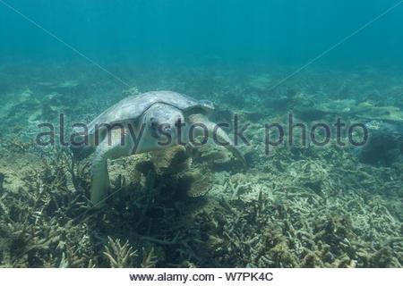 Australian flatback sea turtle (Natator depressus), endemic to Australia and southern New Guinea, swims over coral reef, Indian Ocea, Australia - Stock Photo