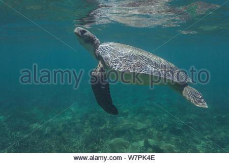 Australian flatback sea turtle (Natator depressus), endemic to Australia and southern New Guinea, rises toward surface to breathe, Indian Ocean, Australia, November - Stock Photo
