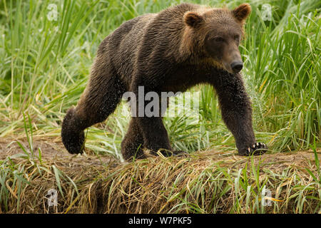 Grizzy bear (Ursus arctos horribilis) young male walking, Geographic Harbor, along the coastal Katmai National Park, South West Alaska, USA - Stock Photo