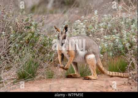 Yellow-footed Rock-wallaby (Petrogale xanthopus)  South Australia - Stock Photo