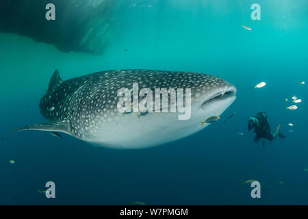 Whale shark (Rhincodon typus) near a fishing device called 'Bagan', with diver taking a photograph. Cenderawasih Bay, Papua Province, Indonesia, April 2012 - Stock Photo
