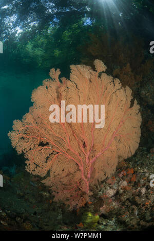 Gorgonian fan corals in Raja Ampat coral reef, near to mangroves, Raja Ampat, West Papua, Indonesia - Stock Photo