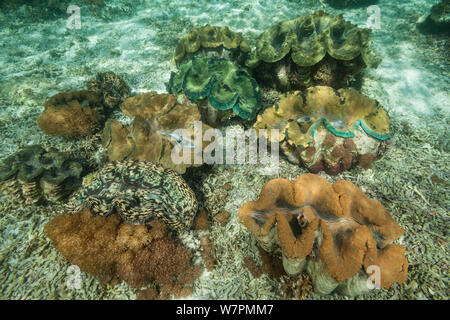 Giant clam (Tridacna gigas) in the shallows Raja Ampat, West Papua, Indonesia - Stock Photo