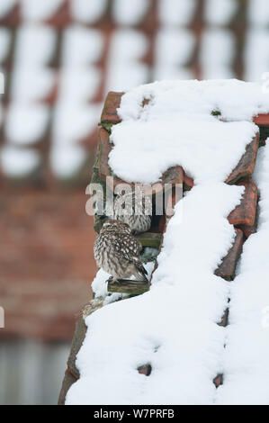 Little Owl (Athene noctua) pair of adults on roof of snow covered derelict barn, Norfolk, England, January - Stock Photo