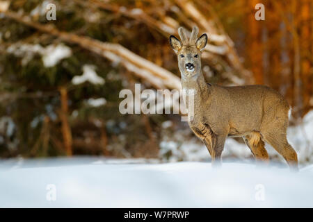 Young roe deer buck (Capreolus capreolus) standing in snow, with teeth showing, Southern Norway, March.