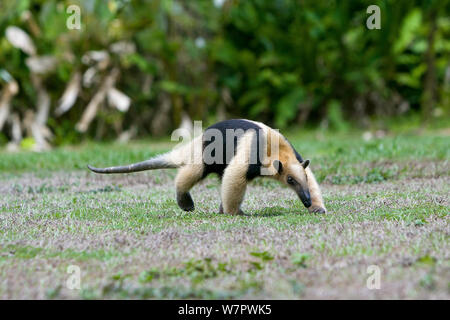 Lesser anteater (Tamandua mexicana) Corcovado National Park, Costa rica - Stock Photo